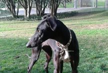 Galgos for adoption