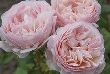 Rose Princesse Charlène de Monaco ® Meidysouk / Photos de la rose Meilland créée pour la Princesse Charlène de Monaco