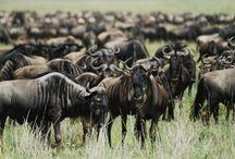 Wildebeest Migration / Awesome images of wildebeest migration from safaris to Tanzania, Kenya! Those creatures are just awesome! www.safarijunkie.com