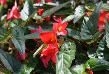 Balkónovky (Balcony flowers)