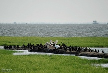 Chilka / Chilka Lake in Odisha is one of India's migratory birds paradise. Chilka is situated in the east cost of India, covering the part of Puri, Khurda and Gunjam district of Odisha.