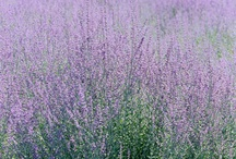 Francie-Provence / pole s levandulemi