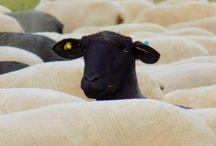 club de ovejas negras