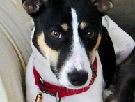 Rat terrier / by Tammy Dupont
