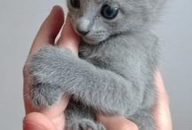 Blue Cats / A solid blue is blue-grey all over. It may be a dark slate grey, medium grey or pale ash grey. The colour is sometimes called Maltese. This is the colour of the russian blue, chartreux and korat. But is can appear in almost any other breed as well and is also seen in non-purebreds.