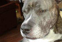 amarican staffort terrier / over  american staffort terrier