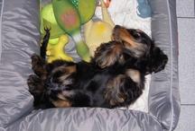 Mascot Finduk! / Our lovely Mascot doggy, English Spaniel Cocker Finduk ♥