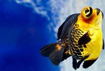 poisson rouges  and Co / poissons rouges, aquariums, carpes koi...