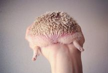 Hedgehog cuteness overload