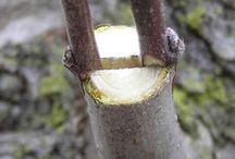 Прививание деревьев