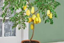 Frutas plantadas em vasos