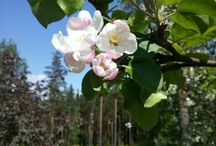 Flowers, roses, my garden/Finland / Pictures from my garden