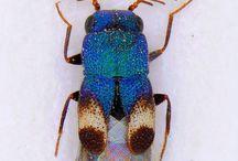 krasci  Buprestidae