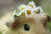 Cuteness / Guinea pig obsession