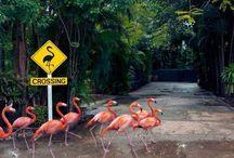 Flamingosy