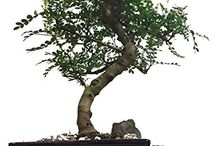 Bonsai Trees / Indoor Bobsai trees and accessories