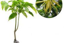 Aroma Kuat / Semua tanaman dalam board ini bisa dikirim keseluruh Indonesia, silahkan order ya, tel: 0341-599399 I SMS center: 08569020300 atau kunjungi website kami www.kebunbibit.id