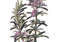 Little Herbs Loves Lavender / This plant is not simply beautiful but fabulously useful too.