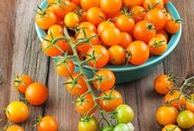 Patio container tomatoes