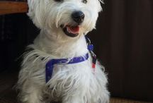 I love Molly  / West highland terrier