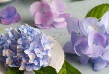 Flowers-Hydrangeas