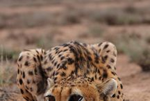 cheetah =^.^=