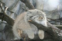 Manul cats