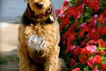 It's all about Piper the Standard Airedale Terrier