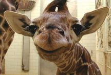 giraffes / by Vicky Brookens Claypoole