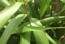 Bamboo / Fabulous, popular Bamboos available from our Nursery in Hooe, East Sussex