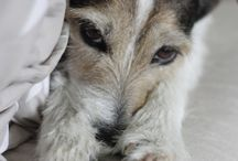 Wire hair Jack Russell