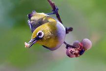 10 Buah dan Sayur Terbaik untuk Burung Pleci serta 3 Racikan Makanan Agar Cepat Gacor