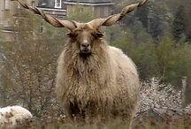 Rare Sheeps