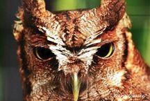 Buhos/Owls / The Currucutu is the most common small owl throughout Colombia. This nocturnal bird inhabits savannas, gallery forests and on the edges of lowland forests. De los búhos pequeños, el Currucutu es el más común en toda Colombia. Exceptuando la vertiente pacifica de la cordillera Occidental. Habita en sabanas, bosques de galería y bordes de selva de tierras bajas. También utiliza áreas abiertas con árboles dispersos, plantaciones y en ocasiones áreas suburbanas.