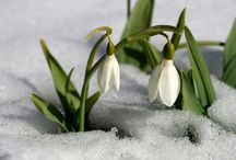 Snow Drops Flowers