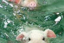 słodkie świnki