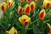 fiori Olanda