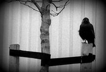 Corvidae / Jackdaw, Raven, Crow and Rook