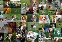 Lihegős beagle képek 2014 / Lihegős #beagle #kutya képek 2014 felhívás! – #facebook borítókép #játék:   További részletek a képküldésről: http://goo.gl/T4yDCv  Beküldési határidő: 2014. szeptember 1., 12:00