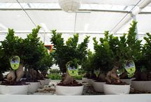 Paganopiante Showroom in real-time / Plants, Bonsai, Phalaenopsis live from showroom.
