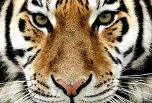 Leopard-Tiger