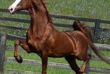 Saddlebers / Caballos