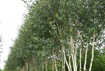betula in garden design