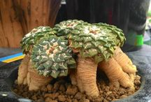 succulente cactacee