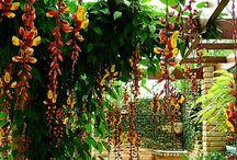 Plantas de pérgola , enredaderas,