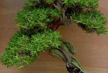 Rosemarinus oficinus Bonsai