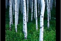 Aspens / There is sonething magical about Aspen trees / by Guadalupe Cano Daley