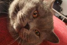 yuricat / photos of my loved british shorthair blue cat yuri