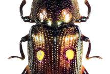 helotidae