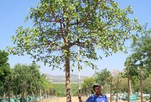 Ficus sur (Broom Cluster Fig) / This large, fast-growing evergreen is indigenous to South Africa and is suitable for large estates and parks. Able to reach impressive heights, this majestic tree would be a feature in any landscape. We currently stock 1000L. (Last updated 28 March 2017)